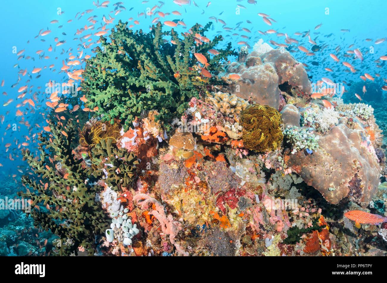 Scalefin anthias, Pseudanthias squamipinnis, Verde Island, Batangas, Philippines, Pacific - Stock Image
