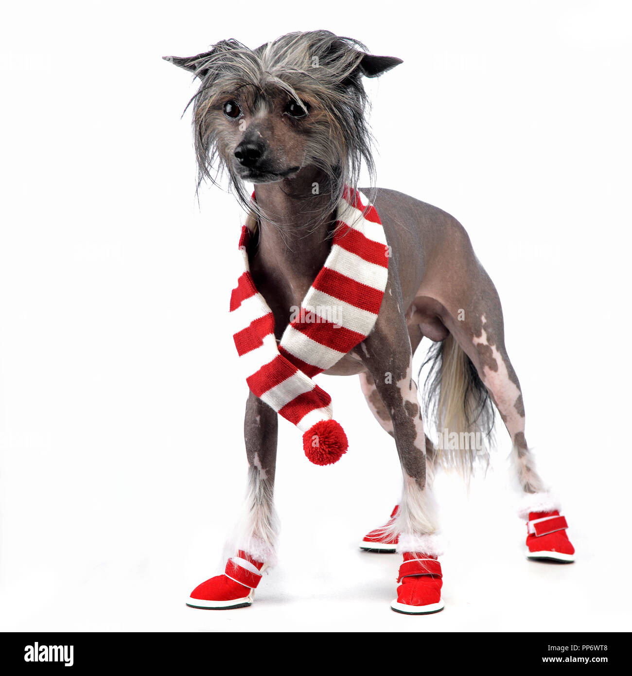 Chinese Crested Dog staying on the studio wearing shoes - Stock Image