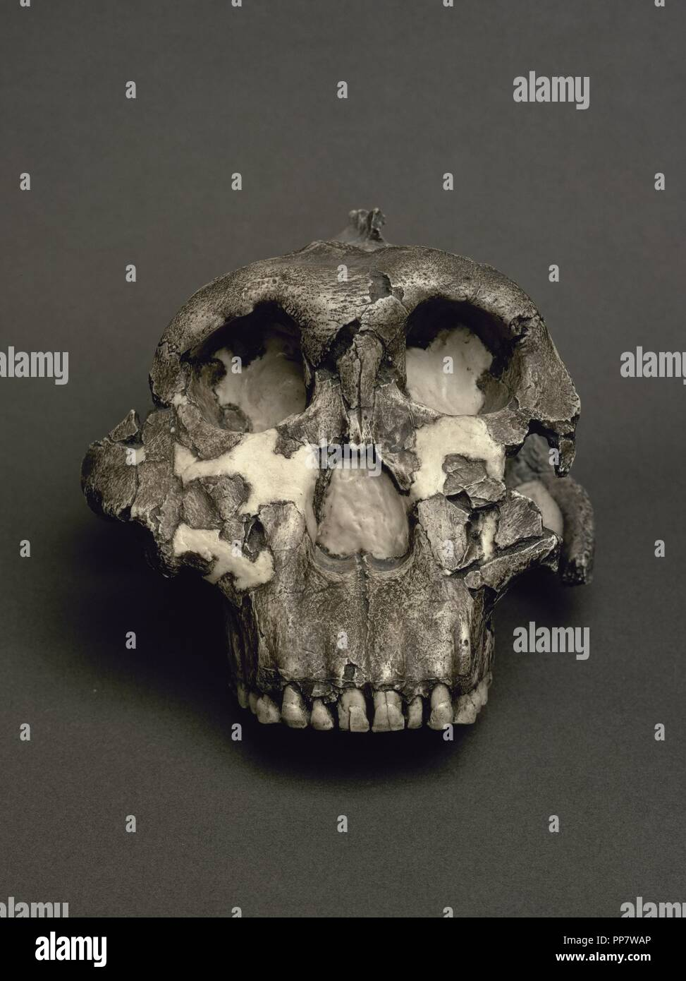 Reproduction of a Cranium of Paranthropus boisei, named Dear Boy. 1,8 million years. From Olduvai Gorge, Tanzania. National Archaeological Museum. Madrid. Spain. - Stock Image