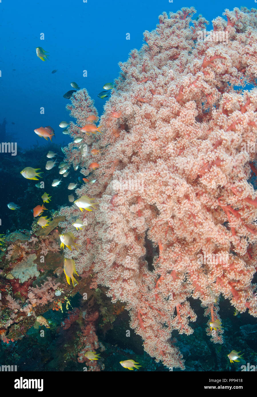 Scenic view of softcoral, Siphonogorgia godeffroyi, Liberty Wreck Bali Indonesia. - Stock Image