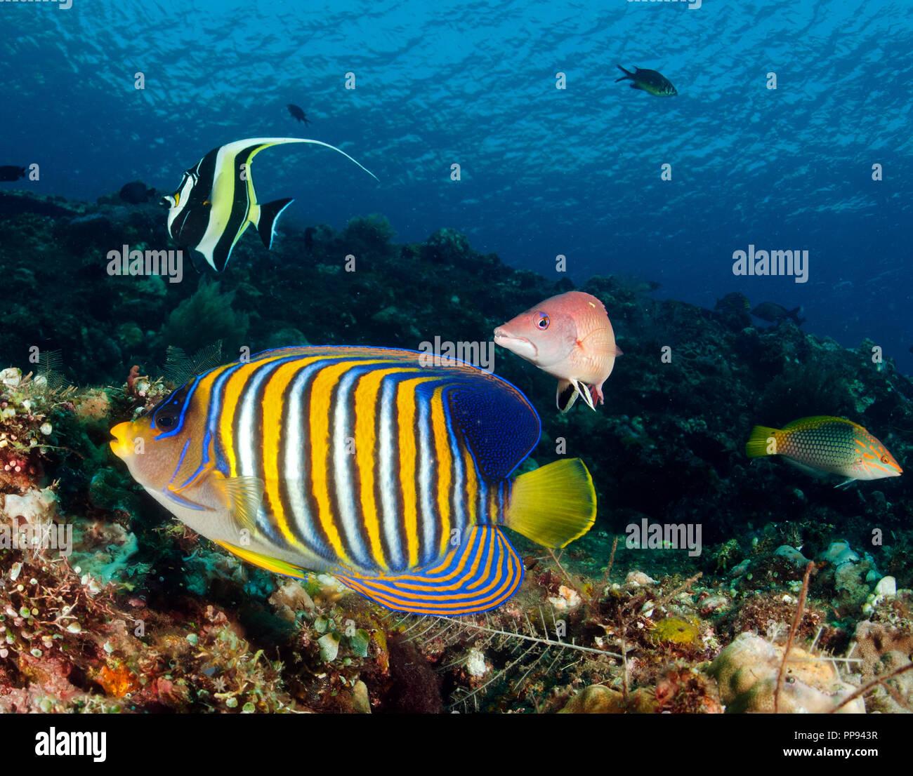 Reef scenic with Regal angelfish, Pygoplites diacanthus, Tulamben Bali Indonesia. - Stock Image