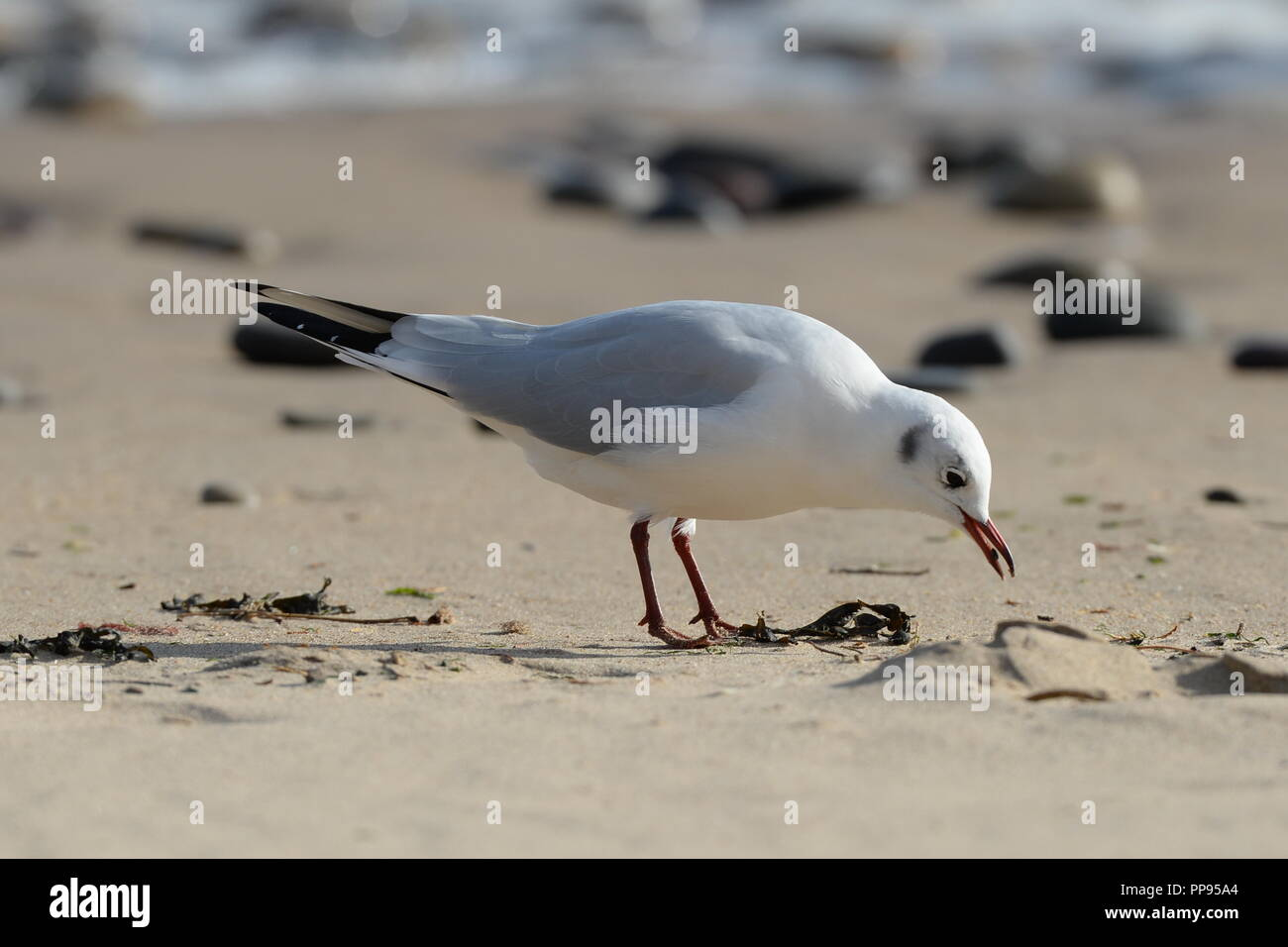 Gull feeding at high tide line on sandy beach with pebbles and surf in background one of a sequence of 4. Stock Photo