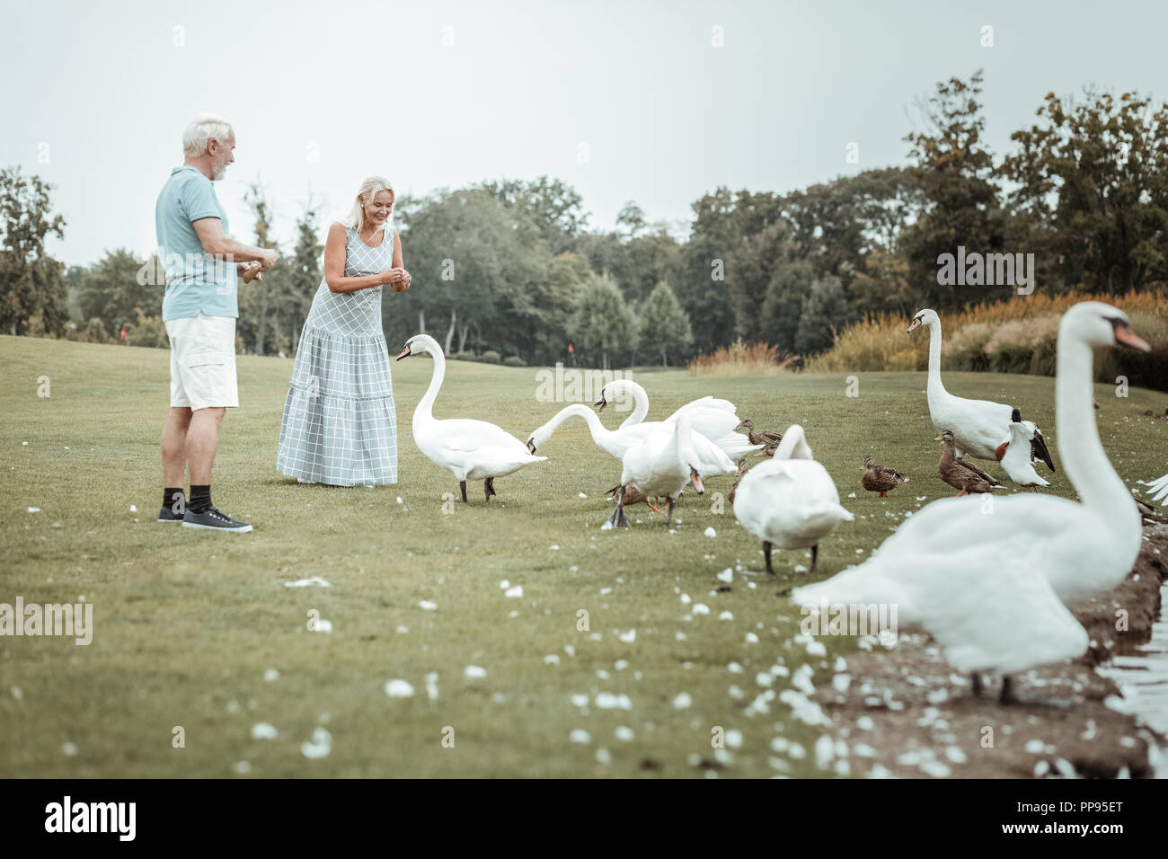 Kind senior woman giving bread to swans - Stock Image