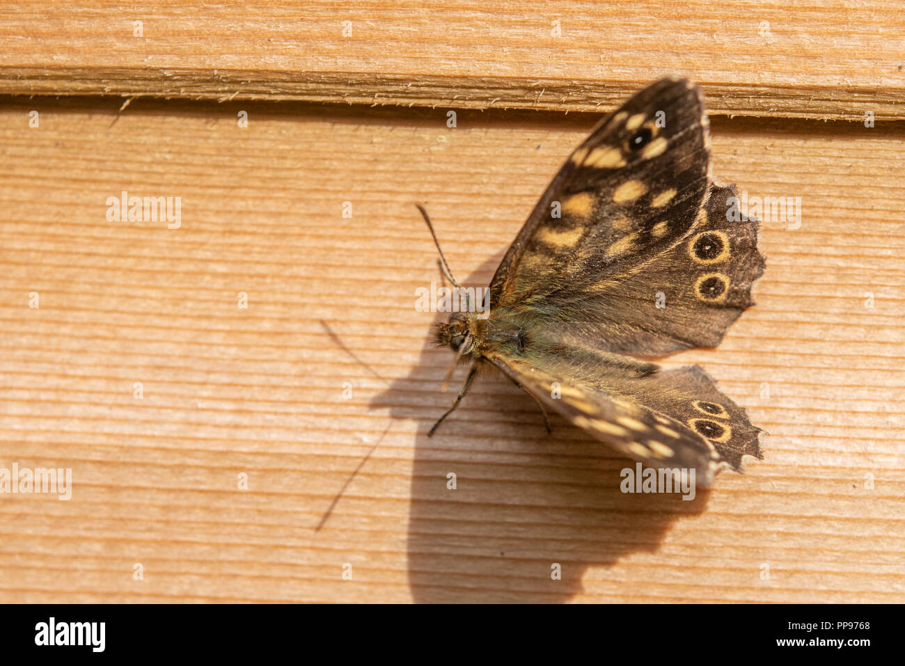 Close up of a Speckled Wood butterfly resting with its wings open on side of shed. - Stock Image
