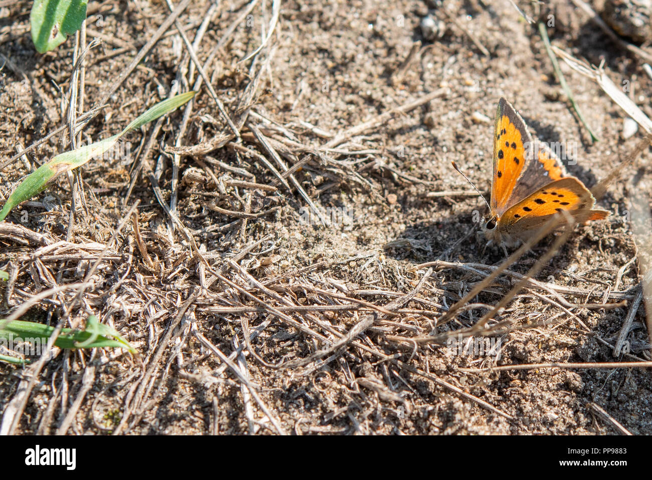 Small Copper butterfly resting on ground with wings open. - Stock Image