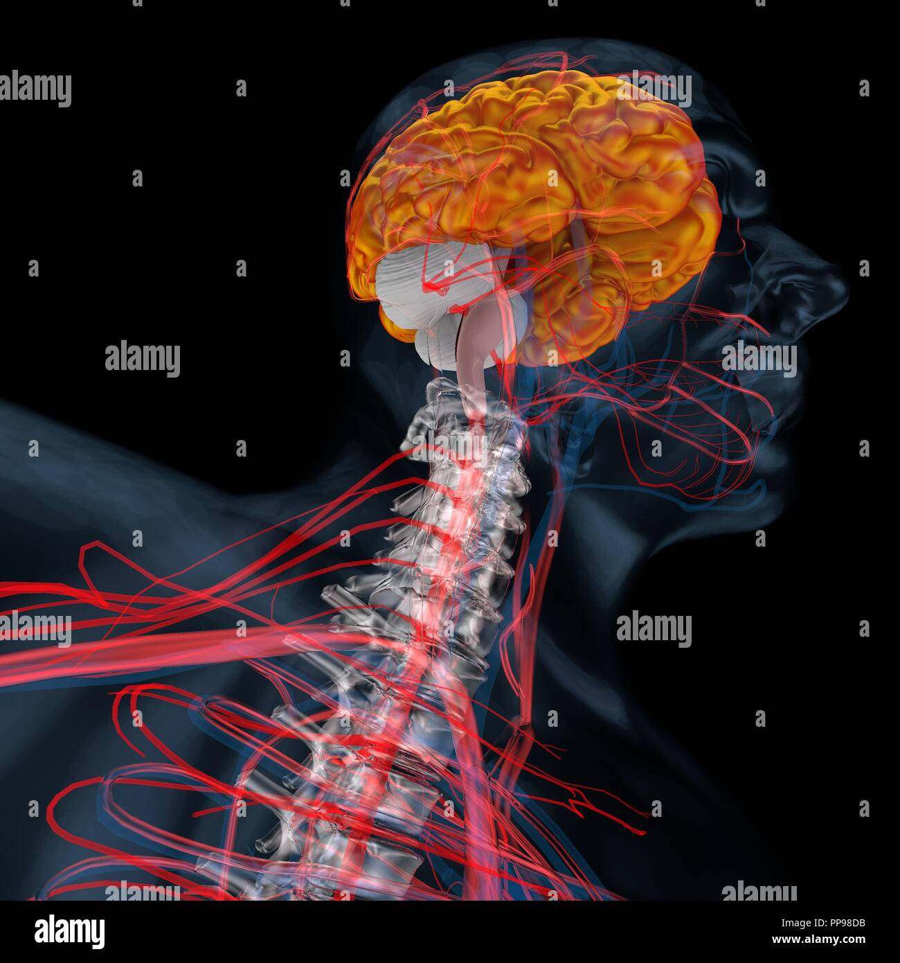 3d illustration of brain, cerebellum. Human body - Stock Image
