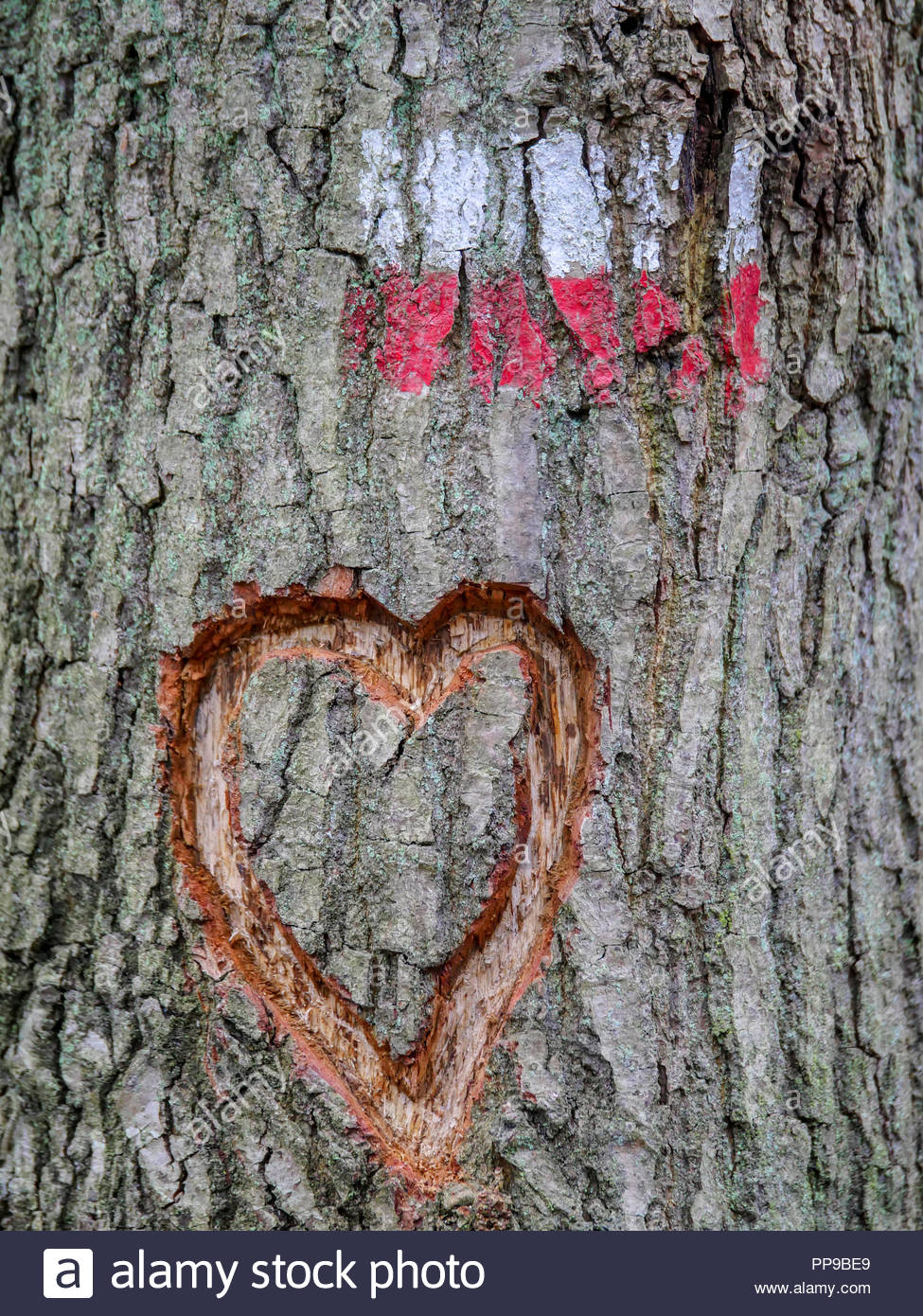 Tree with a red and white marking indicating the correct direction of the long distance walking path in Europe. A heart shape has also been engraved i - Stock Image