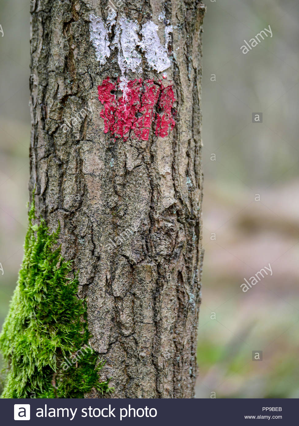Tree with a red and white marking indicating the correct direction of the long distance walking path in Europe. Moss grows on the side of the tree. - Stock Image