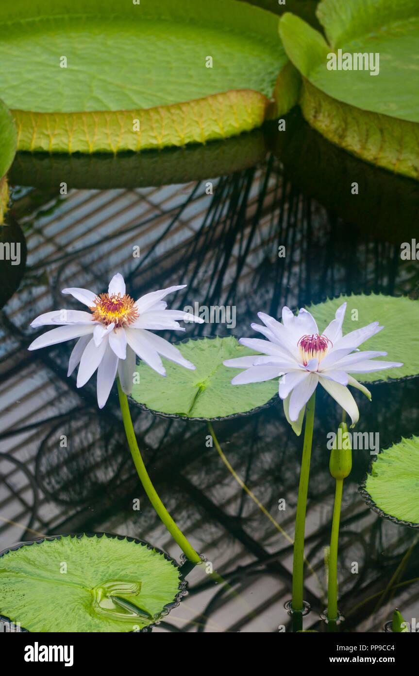 White Nymphaea Kews Kabuki Waterlily Flower - Stock Image
