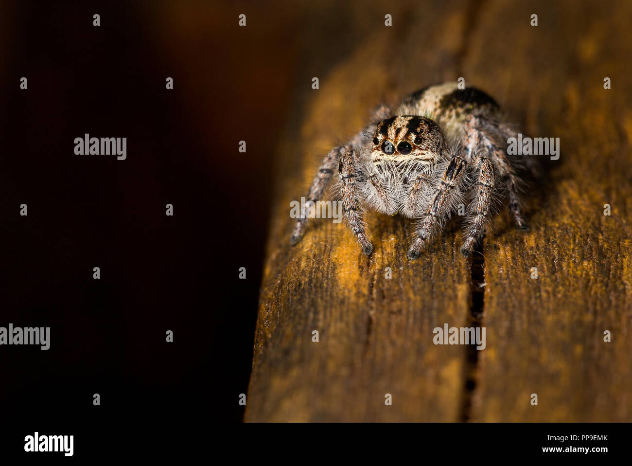 A beautiful jumping spider photographed in the Misiones province of Argentina - Stock Image