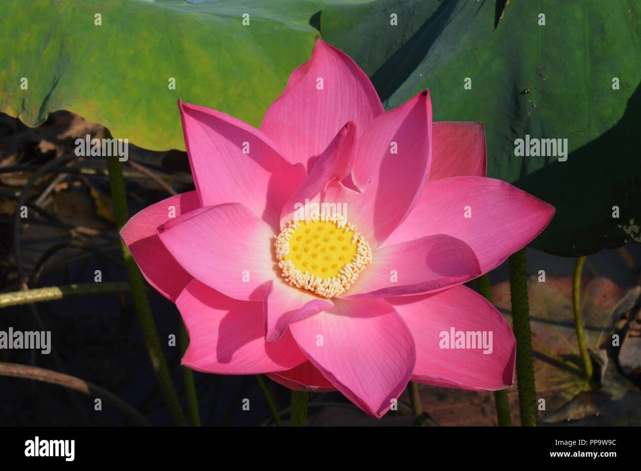 Red Lotus Stock Photos Red Lotus Stock Images Alamy