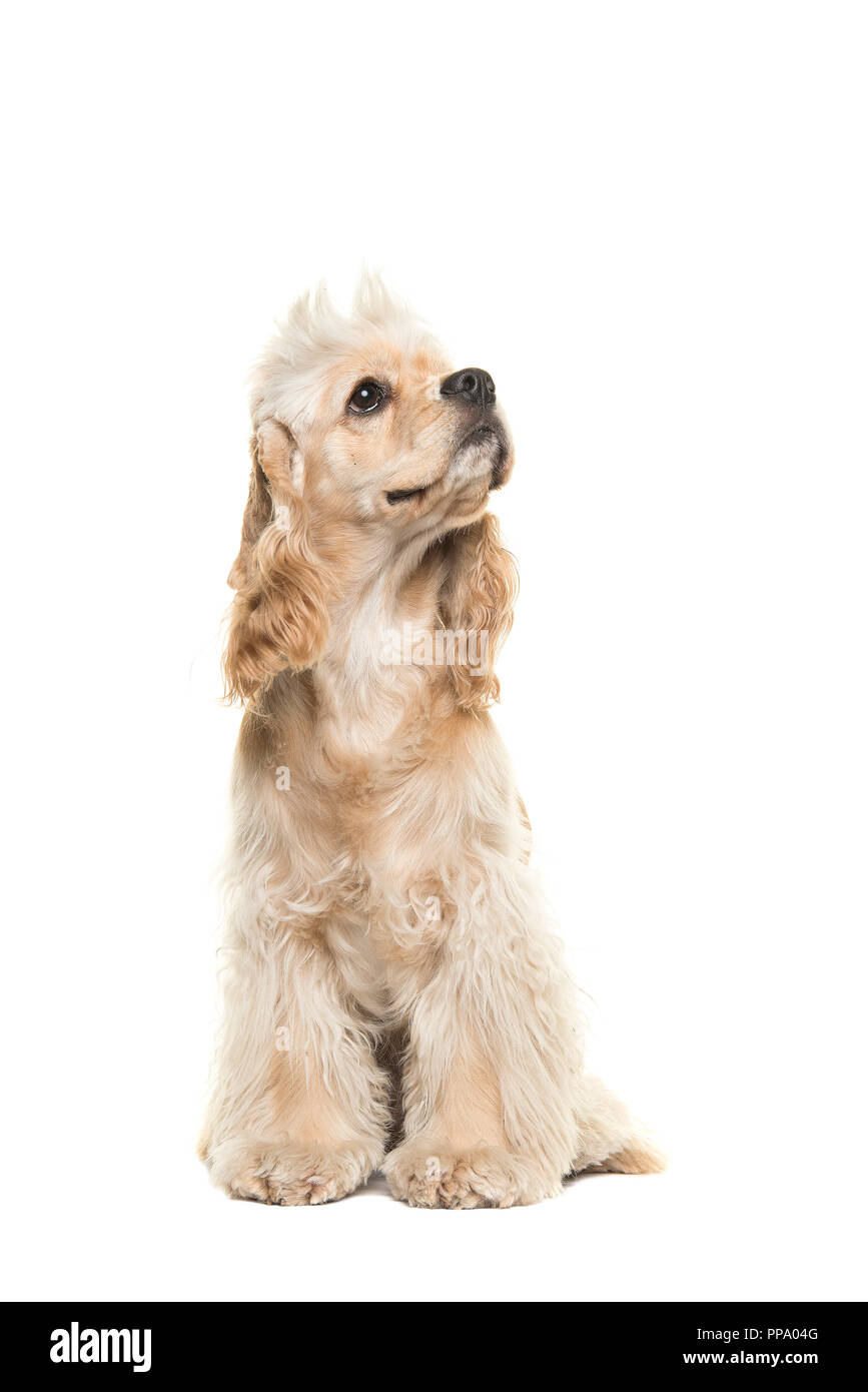 Blond Cocker Spaniel High Resolution Stock Photography And Images Alamy