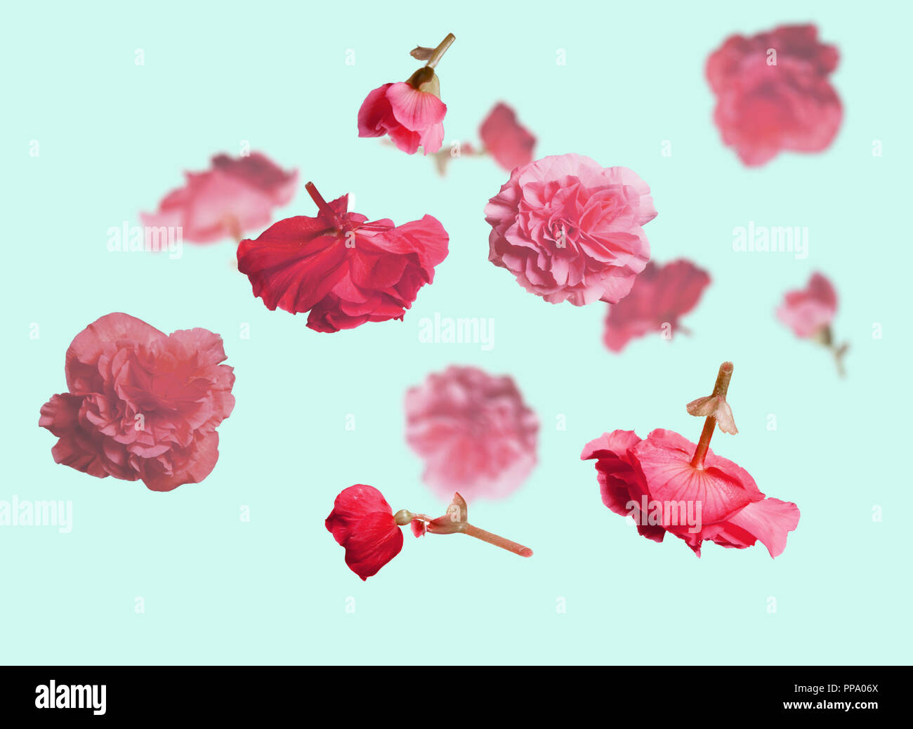 Beautiful Flying Pastel Pink Flowers And Petals At Light Blue