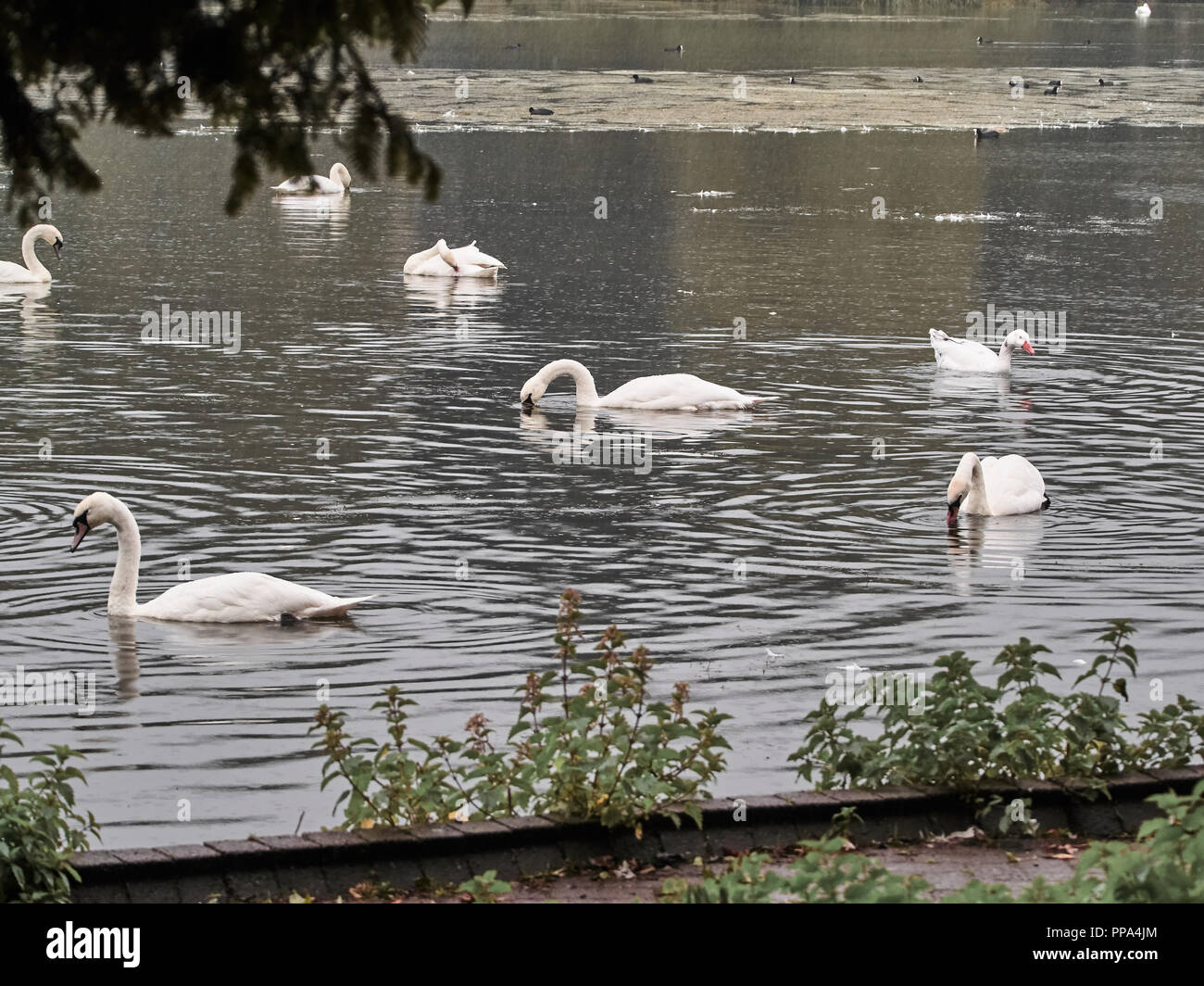 View of many swans in the lake in Roath Park in Cardiff Stock Photo