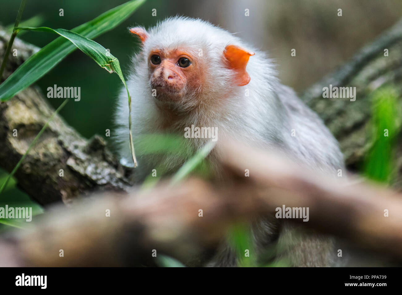 Silvery marmoset (Mico argentatus) in tree, native to the eastern Amazon Rainforest in Brazil - Stock Image