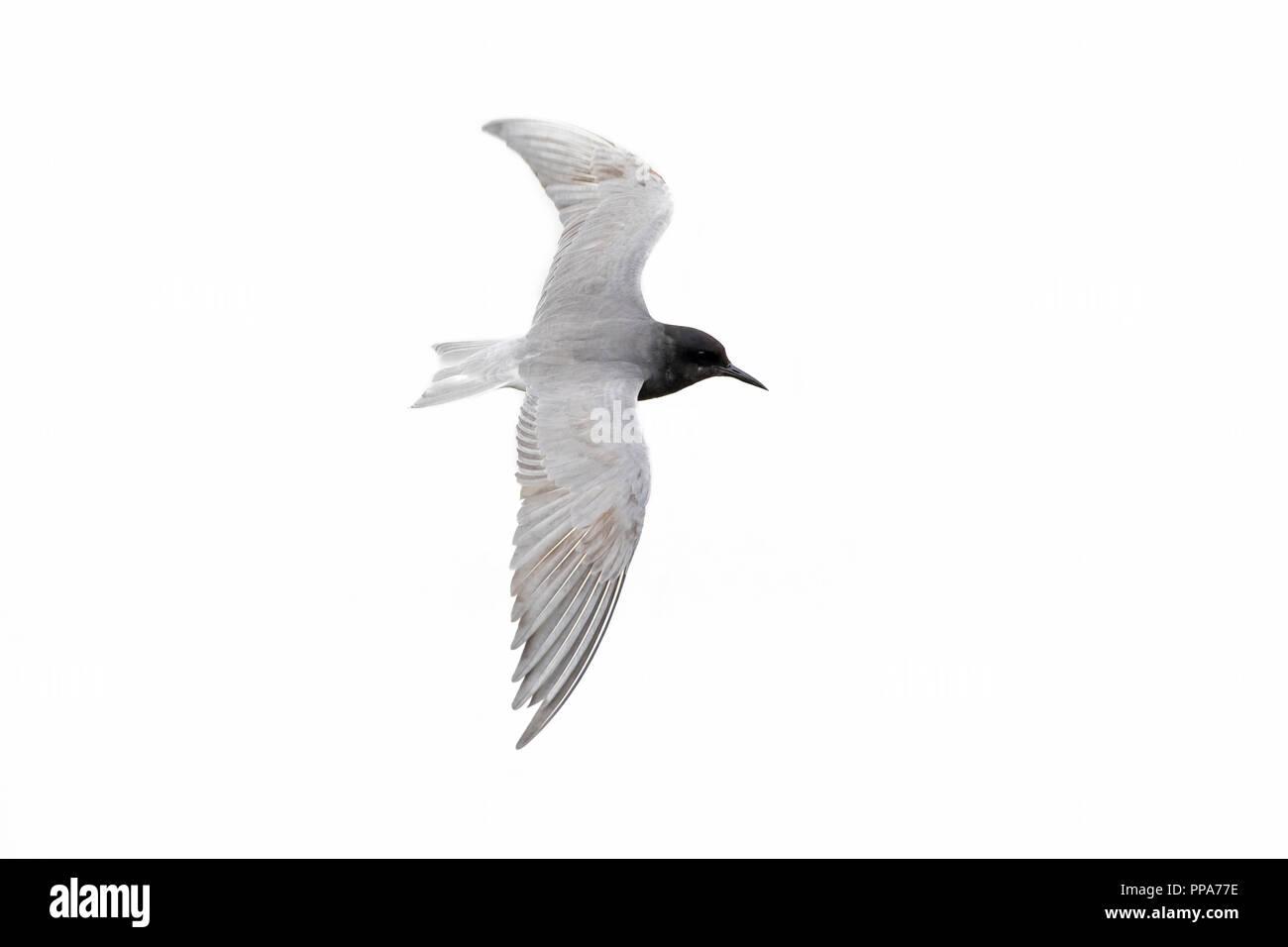 Black tern (Chlidonias niger) in breeding plumage flying against white background - Stock Image