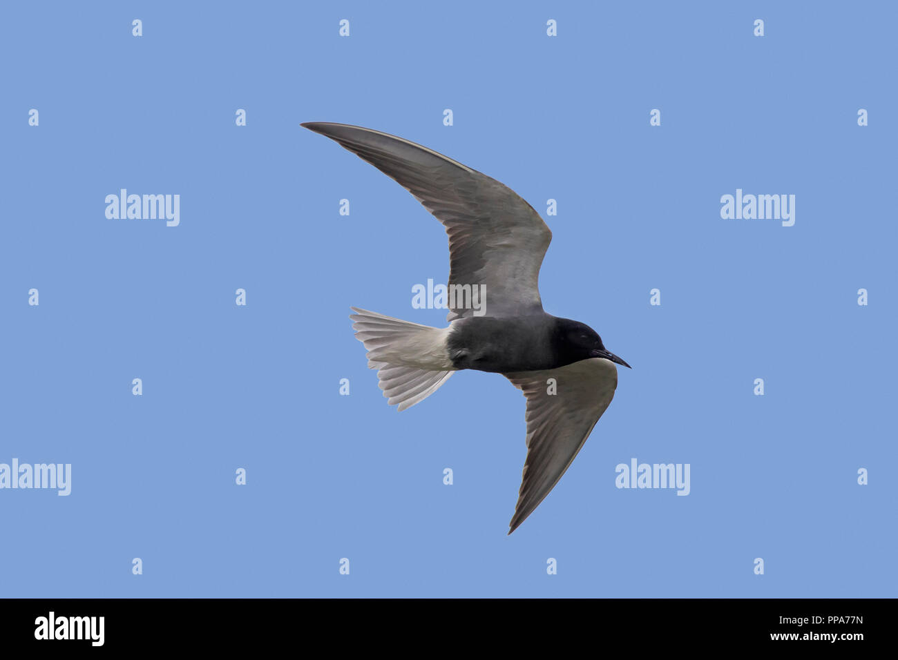 Black tern (Chlidonias niger) in breeding plumage in flight against blue sky - Stock Image