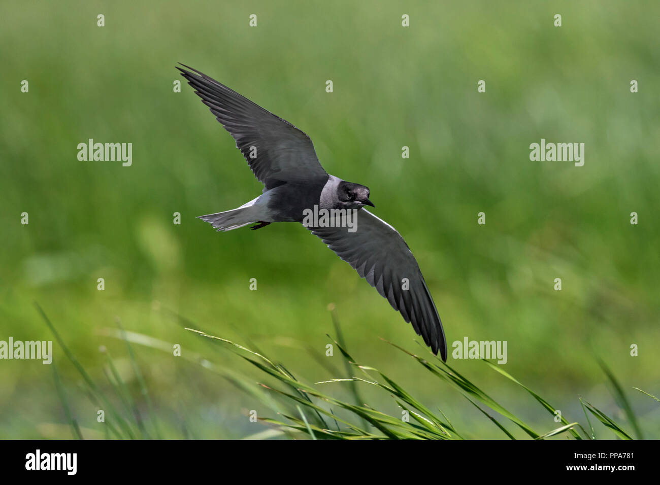Black tern (Chlidonias niger) flying in breeding plumage over wetland in spring - Stock Image
