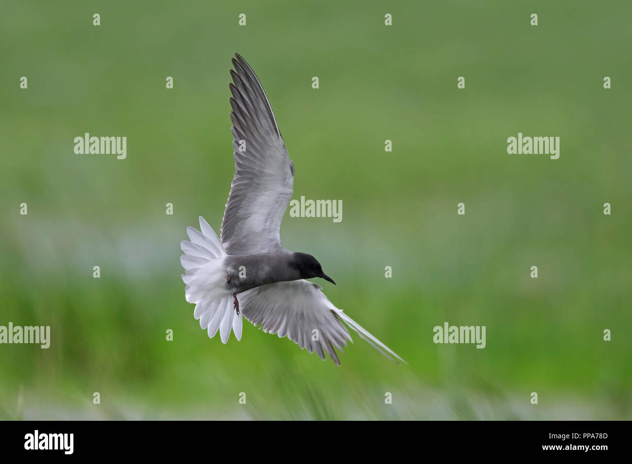 Injured black tern (Chlidonias niger) in breeding plumage flying with severely damaged wing over wetland in spring Stock Photo