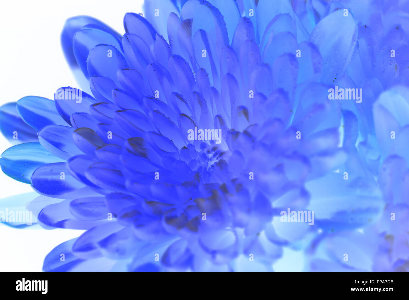 A beautiful flower using an inverted manipulation filter. - Stock Image
