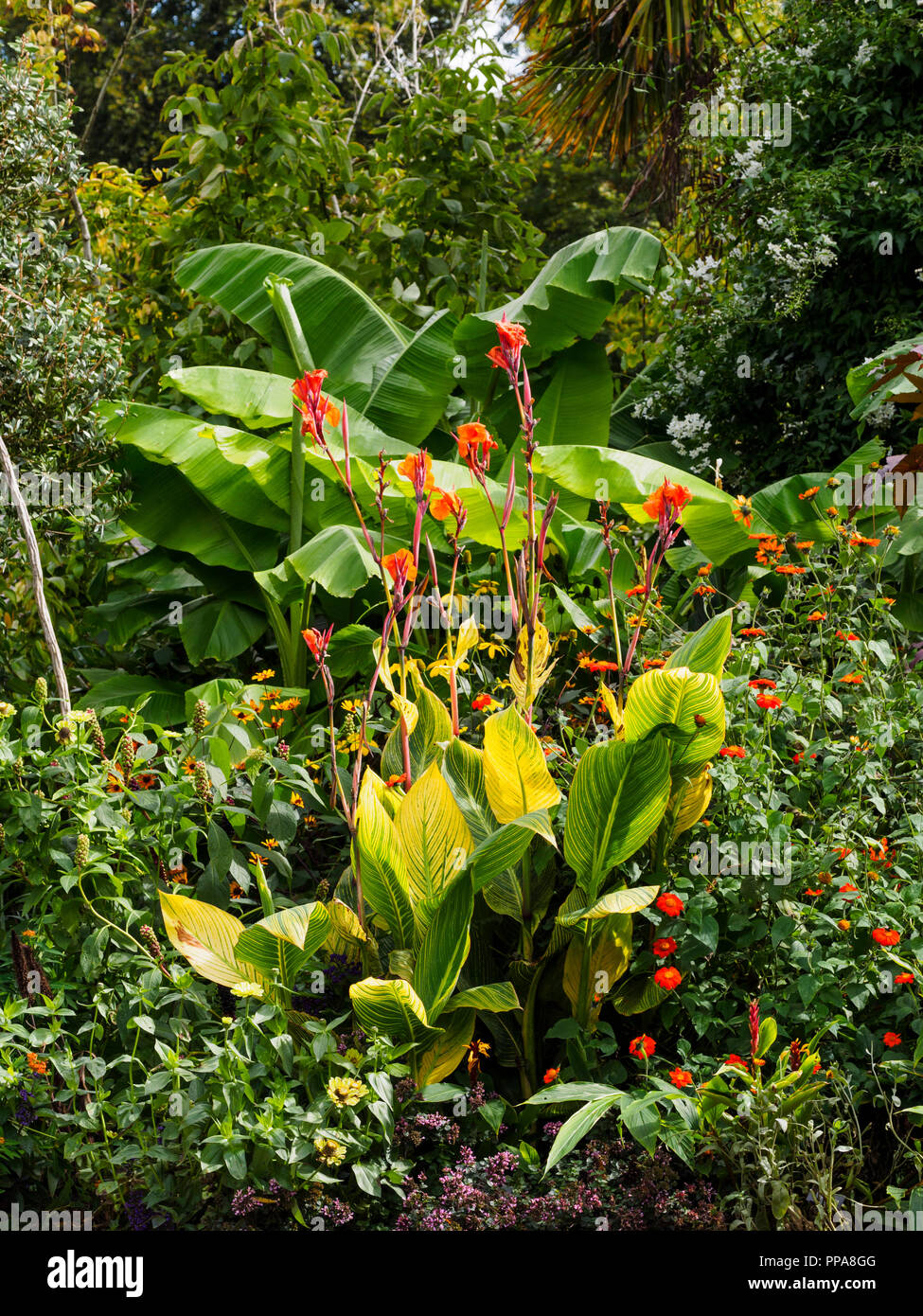 Broad leaves of the hardy banana, Musa basjoo, and yellow striped foliage of Canna 'Pretoria' dominate an exotic border planting - Stock Image