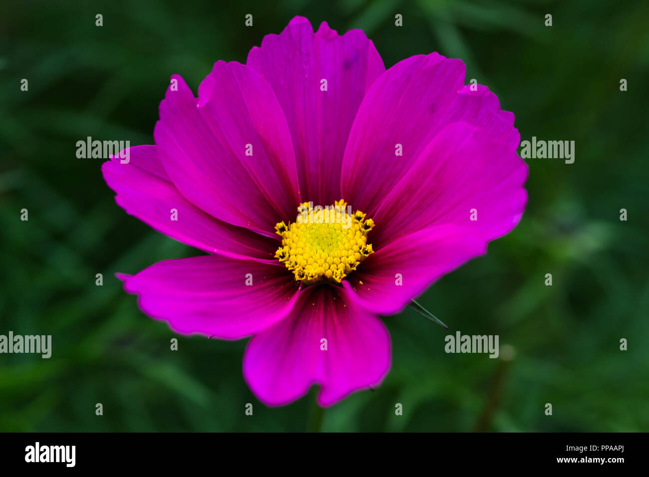 Purple Flower With White Centre Stock Photos Purple Flower With