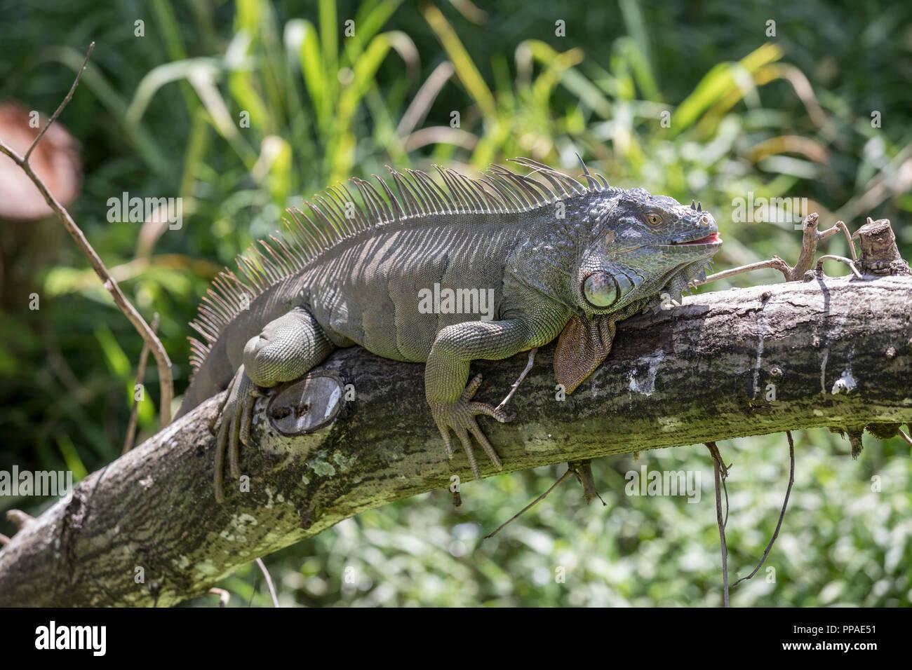 SGP, Singapur, 20.02.2017, Singapur Jurong Bird Park Grüner Leguan Iguana iguana © 2017 Christoph Hermann - Stock Image