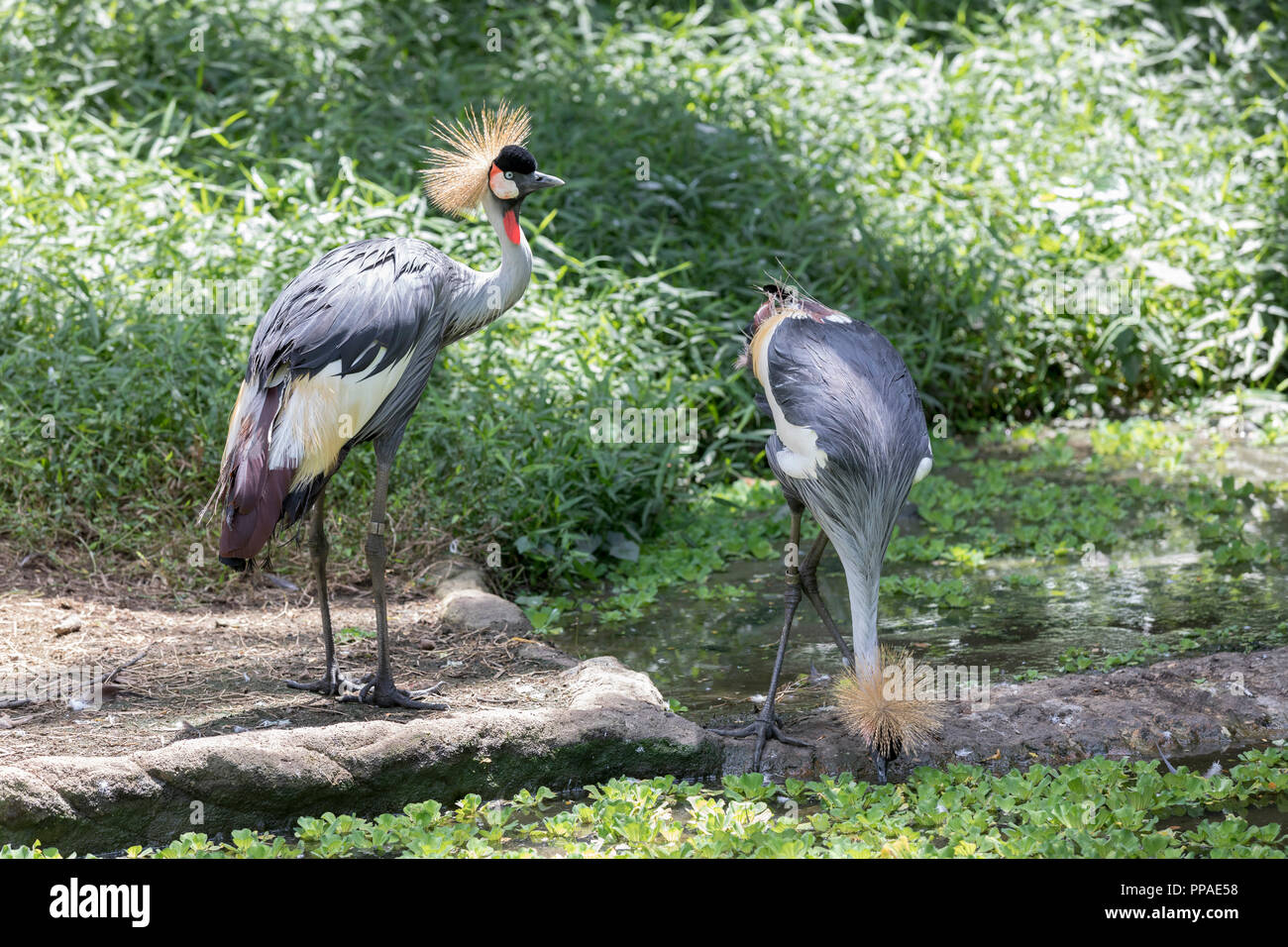 SGP, Singapur, 20.02.2017, Singapur Jurong Bird Park Südafrika-Kronenkranich (Balearica regulorum) © 2017 Christoph Hermann, Bild-Kunst Urheber 707707 - Stock Image