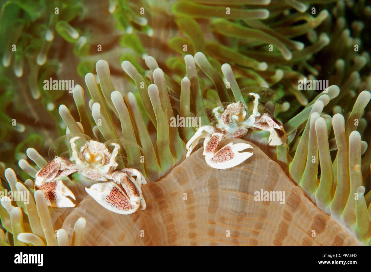 Porcelain crabs, Neopetrolisthes maculatus, Bali Indonesia.. - Stock Image