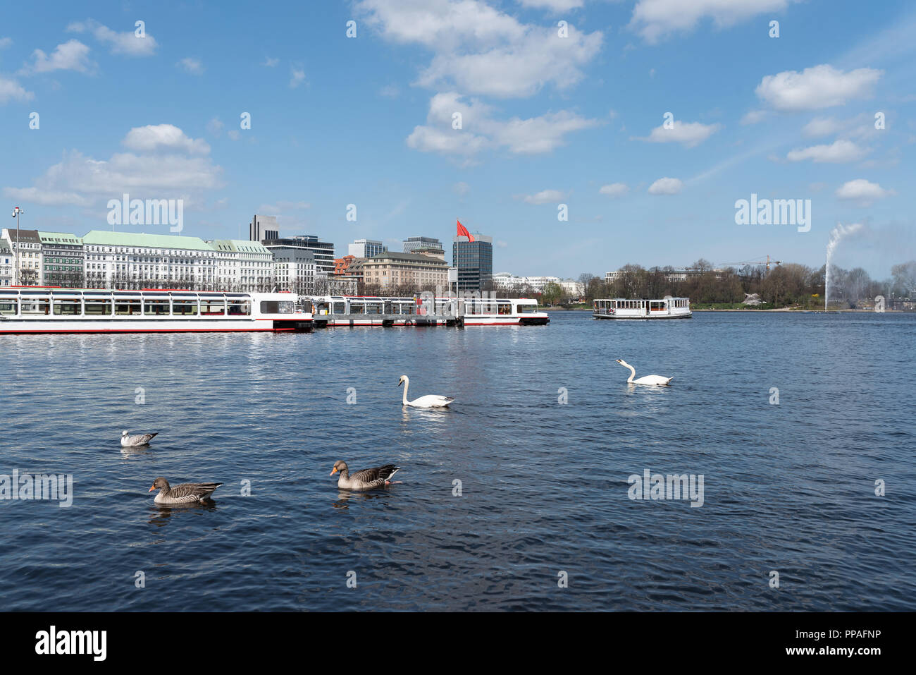 waterbirds on Alster Lake in Hamburg, Germany - Stock Image