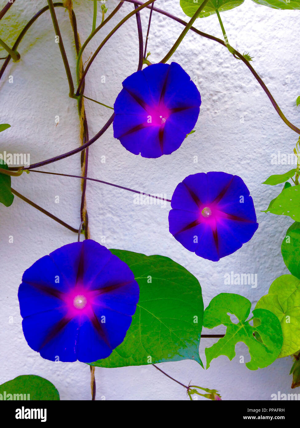 Morning Glory flowers  on wall - Stock Image