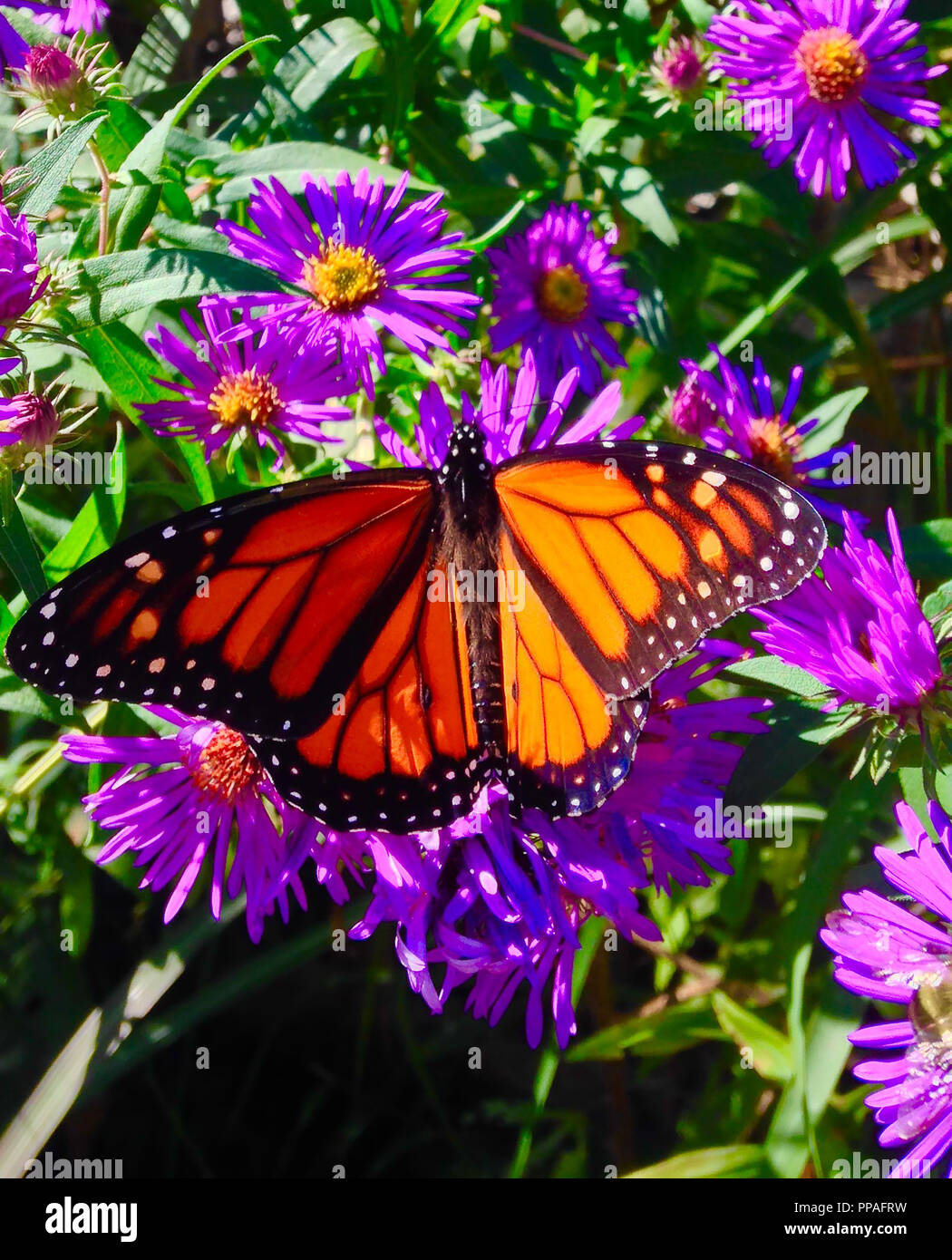 Monarch butterfly resting - Stock Image