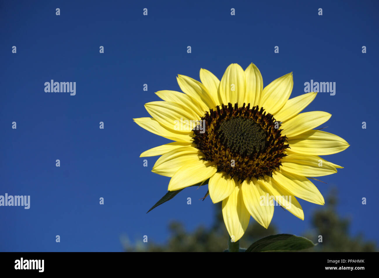 Autumn big sunflower flower close up on the beautiful blue sky background with free copy space - Stock Image