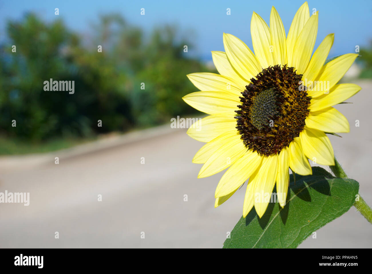 Yellow autumn sunflower outside close up in blurred rural landscape on the sunny day in autumn - Stock Image