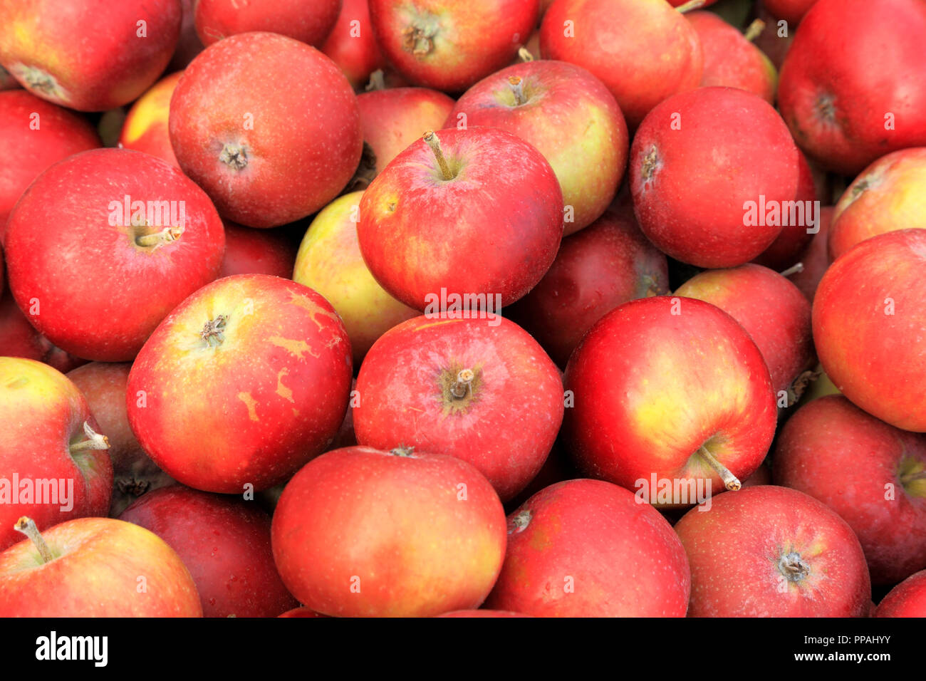 Apple, apples, Ingall's Red,  farm shop, display, malus domestica, edible, fruit - Stock Image