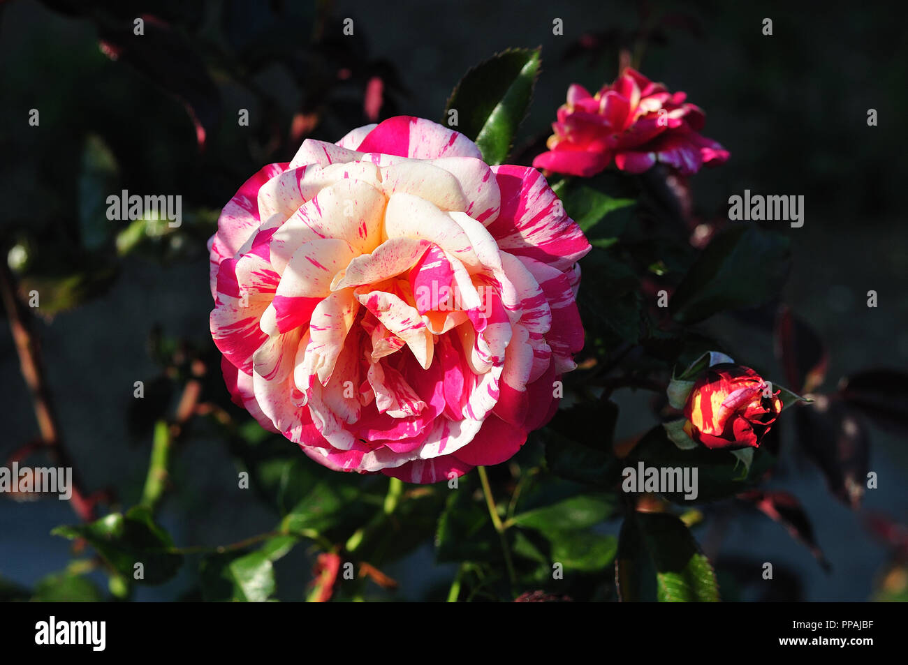 flower of rose cultivar Broceliande with creamy white and pink petals - Stock Image