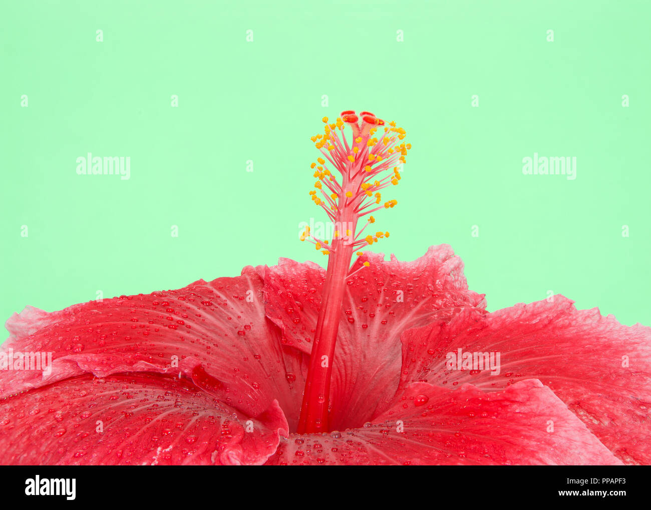 Close Up On Center Of One Red Hibiscus Flower With Water Droplets On