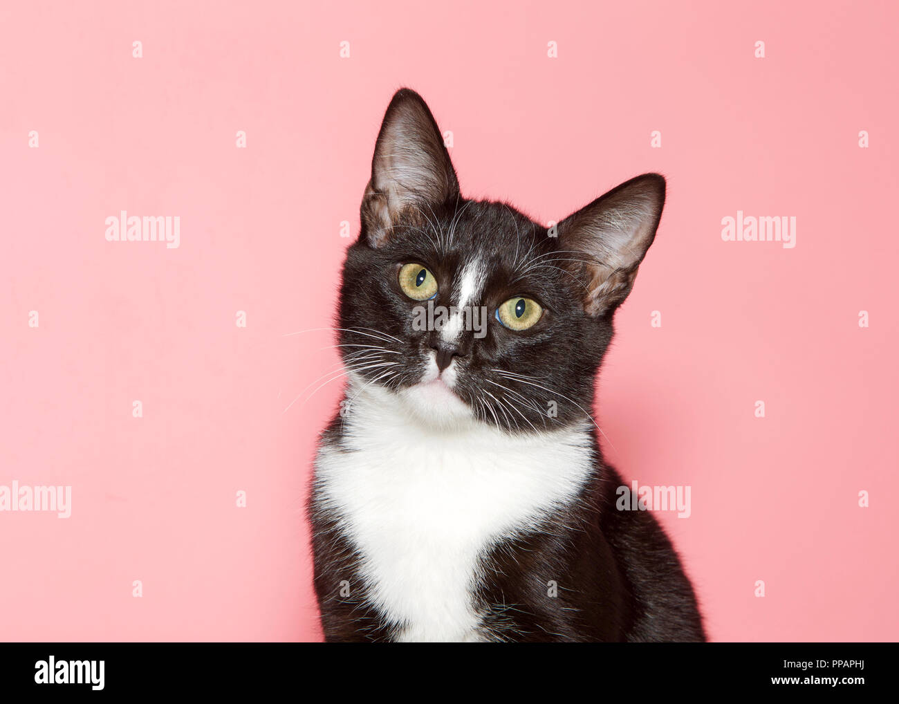 Portrait of an adorable tuxedo kitten with green eyes, head tilted looking directly at viewer curiously. Pink background with copy space. - Stock Image