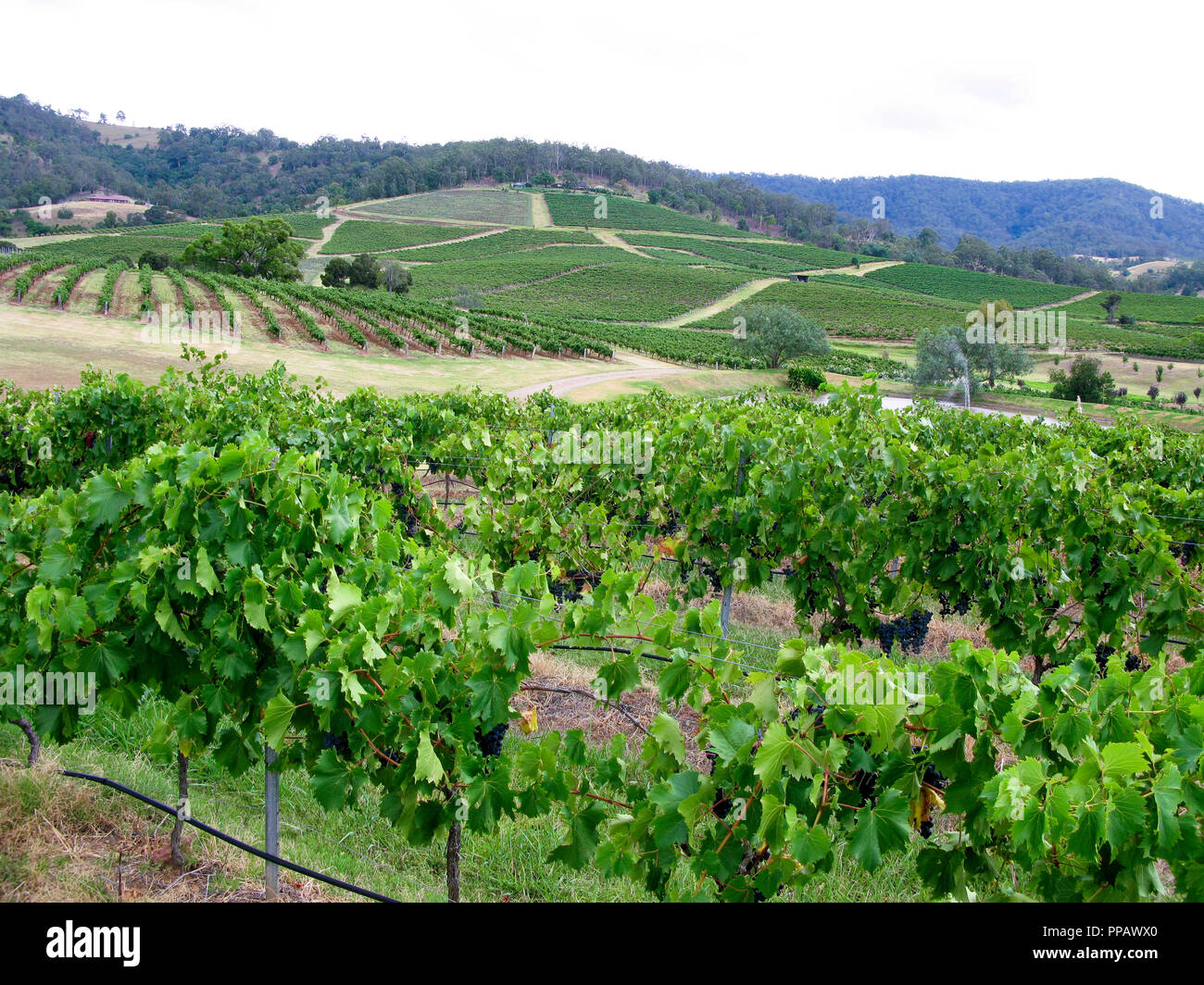 HUNTER VALLEY Australia New South Wales is the Vine region - Stock Image