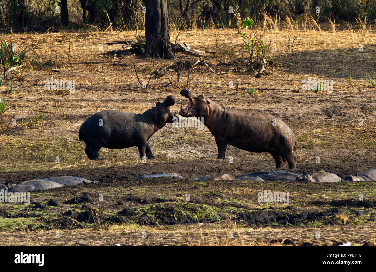 When hippos are concentrated in close proximity during the dry season there are many aggressive interactions, some of which become violent and serious - Stock Image