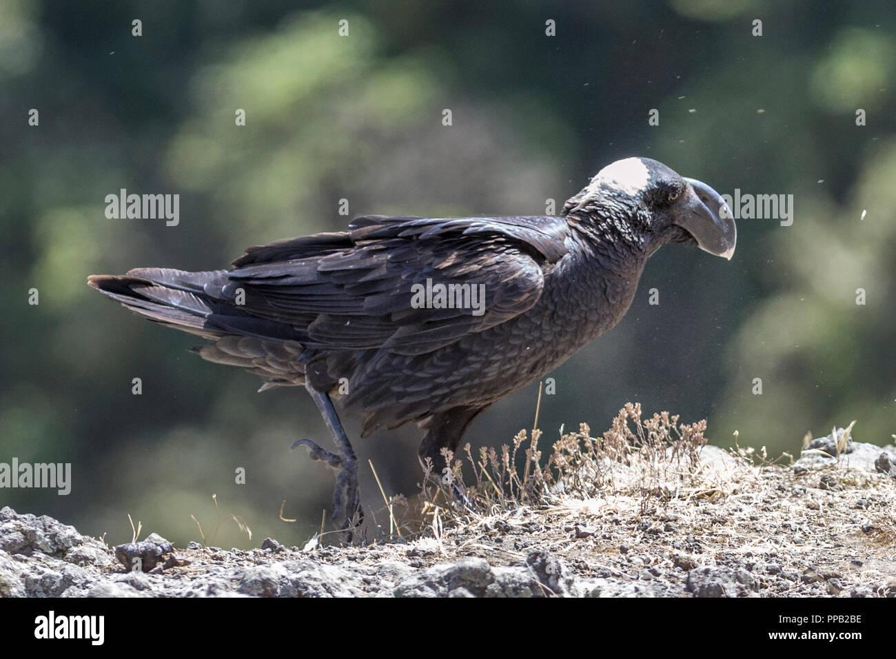 Thick-billed raven, Corvus crassirostris,  Simiens National Park, Ethiopia - Stock Image