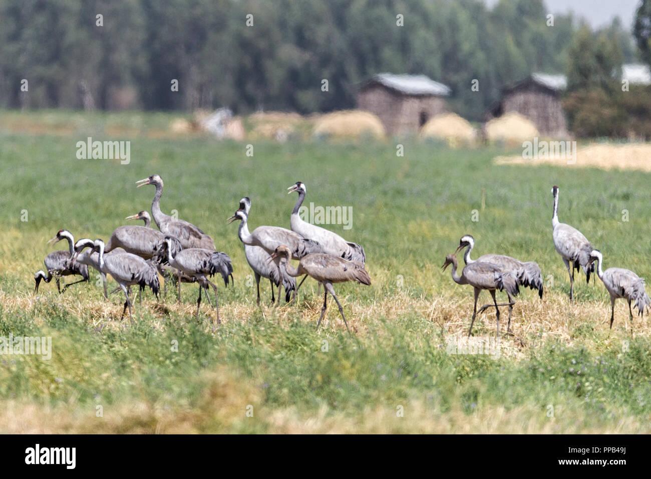 Wattled cranes, Grus carunculata, Bahir Dar region, Ethiopia - Stock Image