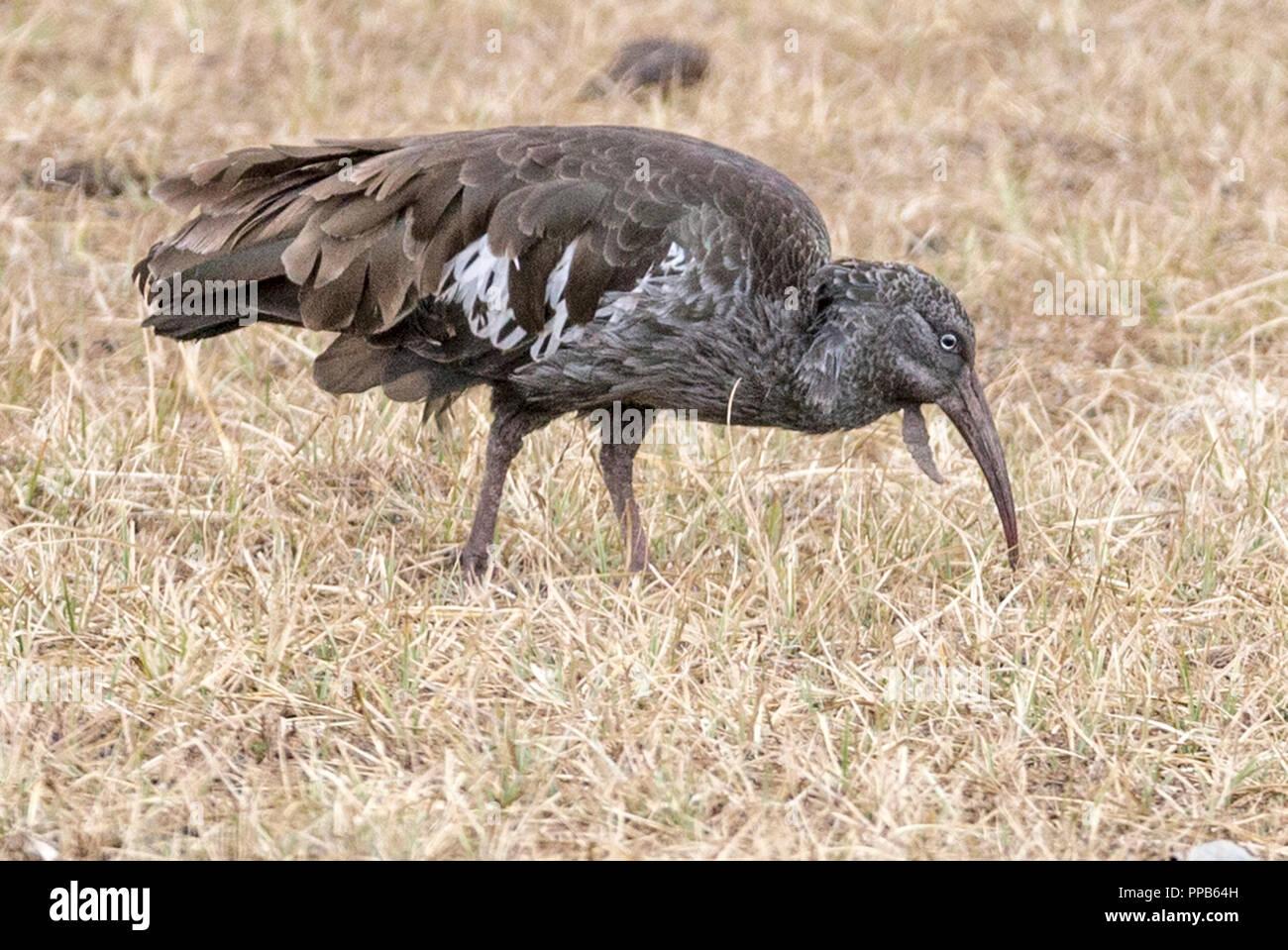 Wattled Ibis (Bostrychia carunculata), Bale Mountains, Ethiopia - Stock Image