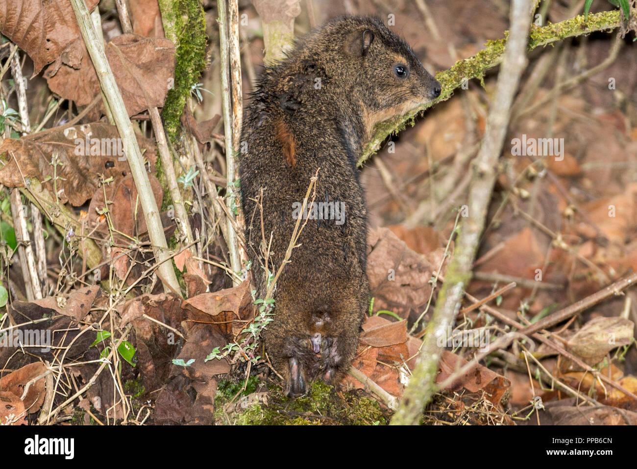 Tree Hyrax aka tree dassies, Bale Mountains, Ethiopia - Stock Image