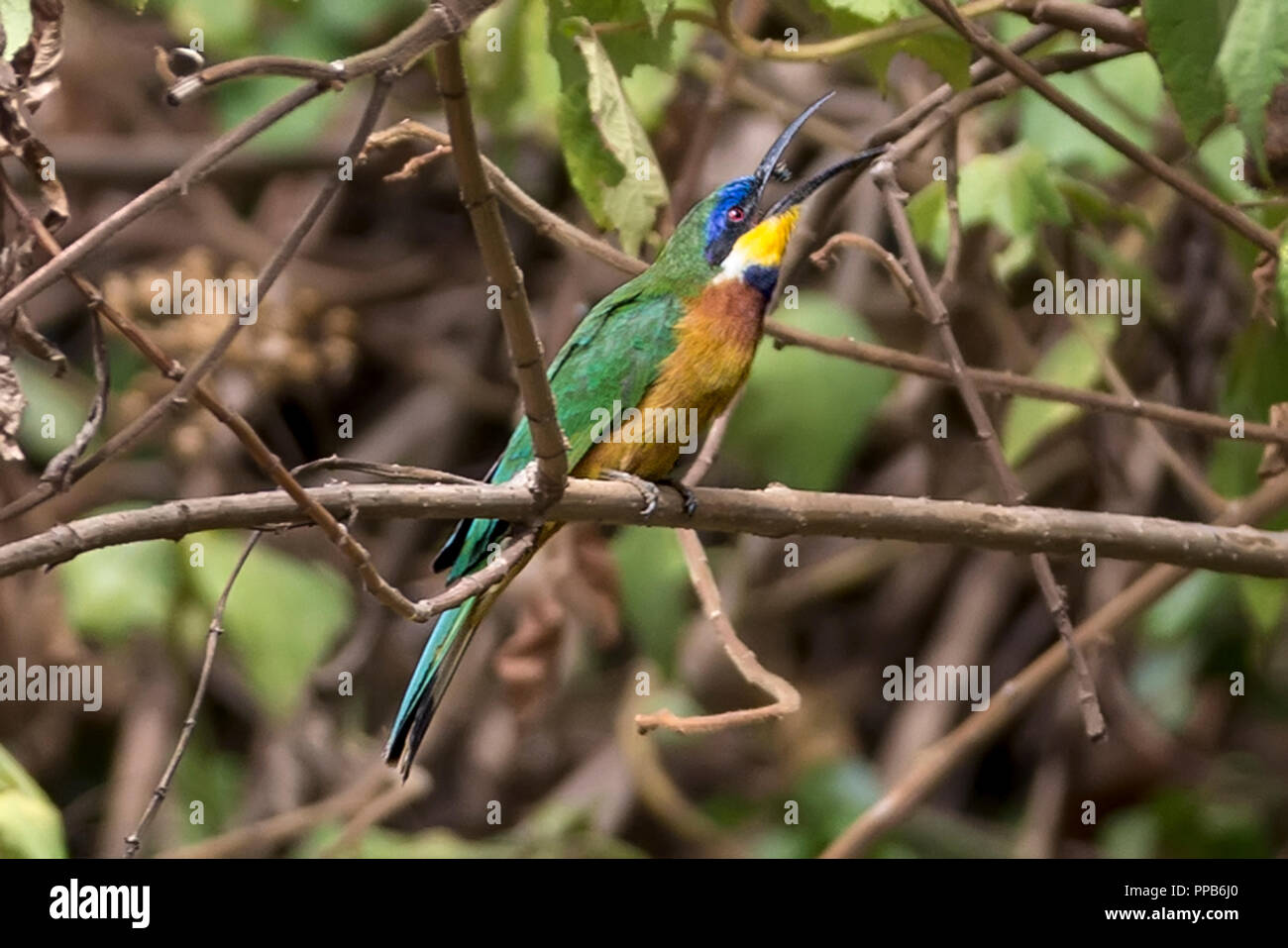 Blue-breasted Bee-eater (Merops variegatus), catching flying insect,, Bale Mountains, Ethiopia - Stock Image