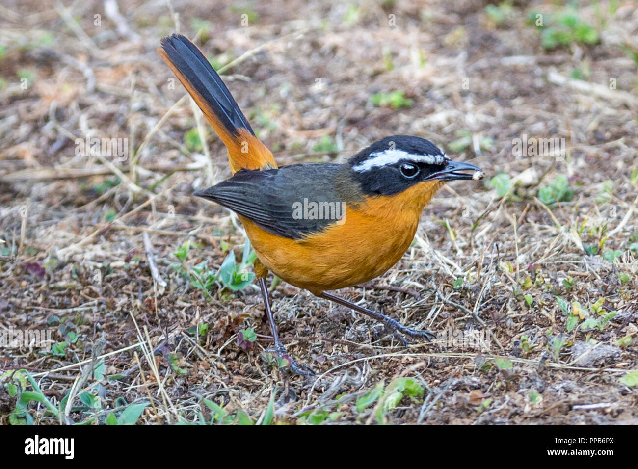 White-browed robin-chat (Cossypha heuglini), also known as Heuglin's robin,  with grub Bale Mountains, Ethiopia, - Stock Image