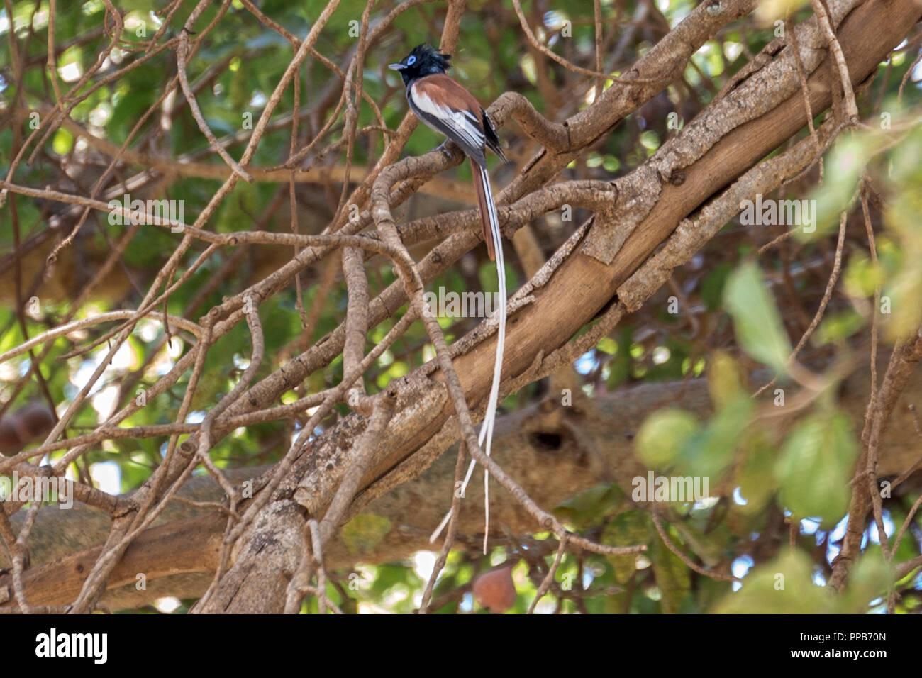 Male  Red-bellied paradise flycatcher (Terpsiphone rufiventer), aka black-headed paradise flycatcher,Dolo Mena, Oromia Region, Ethiopia Stock Photo