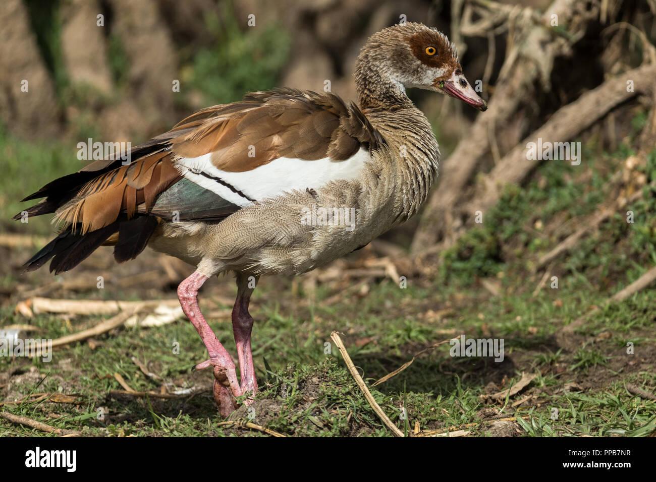 Egyptian Goose, Alopochen aegyptiaca, Lake Ziway, Ethiopia - Stock Image