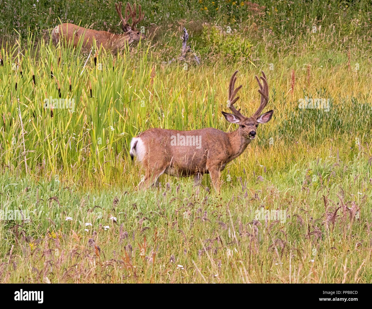 Mule deer bucks feeding in tall grass at Yellowstone National Park - Stock Image