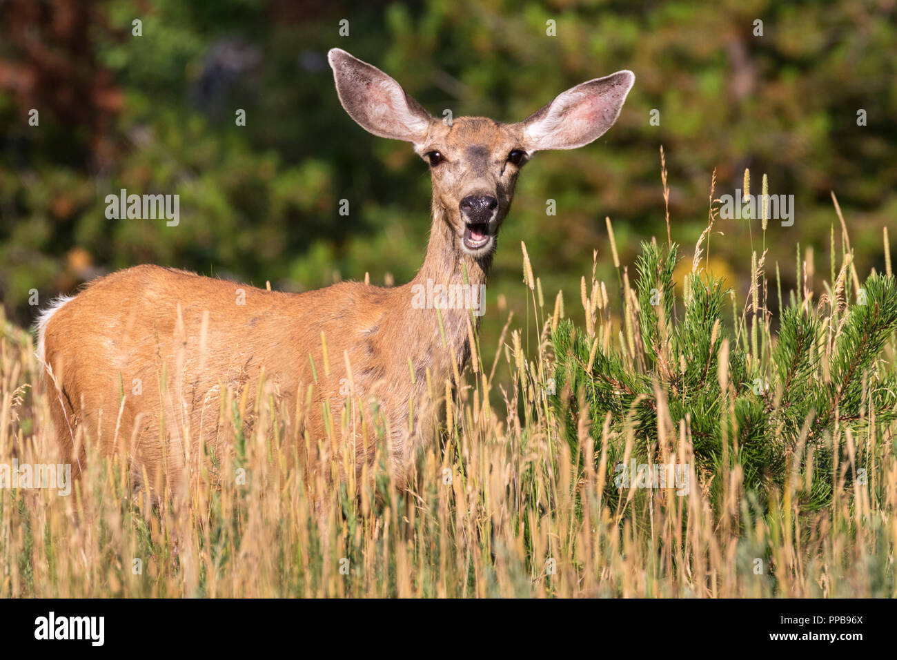 Mule deer (Odocoileus hemionus) - Stock Image